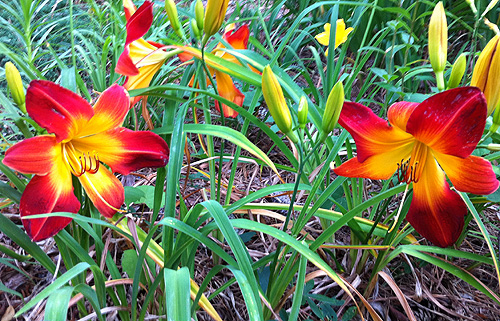 daylilies_outside