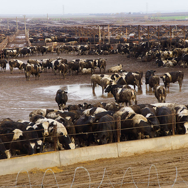 Cattle in a muddy feedlot. Image copyright: https://www.123rf.com/profile_cascoly2