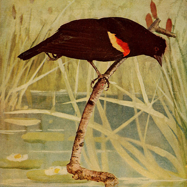 red-wing blackbird on a branch