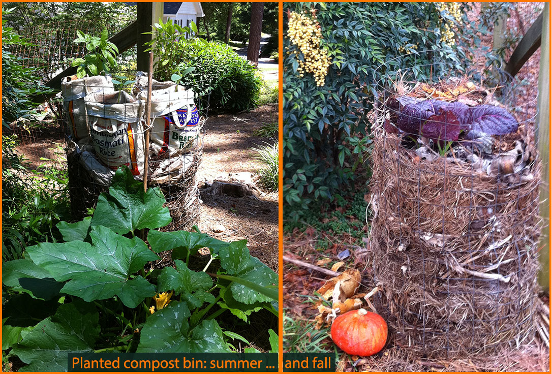 compost bin in summer and fall, planted with basil and squash and with mustard greens