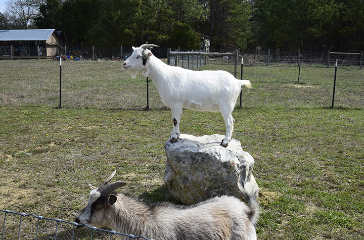 goat on a rock in an open grassy field