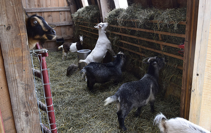 pygmie goats eating using ladder feeders