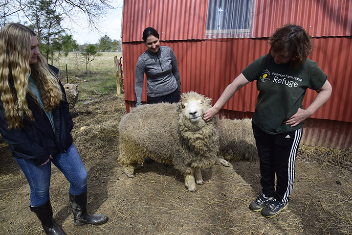 a sheep at the Piedmont Farm Animal Refuge with founder Lenore Braford