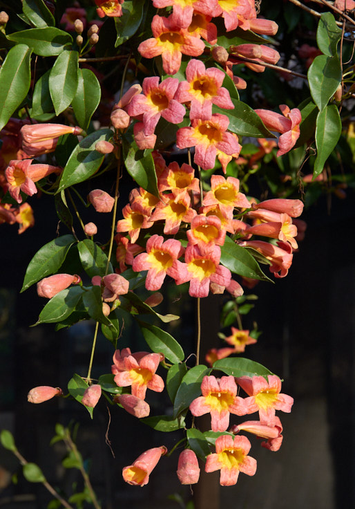 Crossvine or Bignonia capreolata 'Tangerine Beauty'